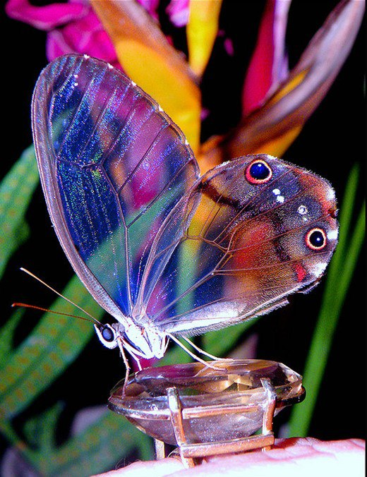 Clearwing-Butterfly-butterflies-33159182-520-676