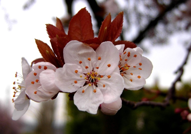 Plum-tree-blossoms-Wallpaper-3