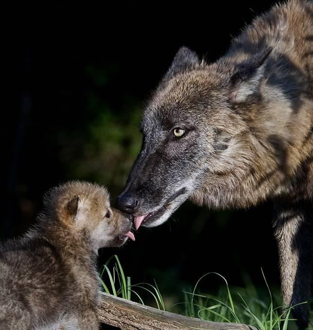 wolf-mom-cub-lick