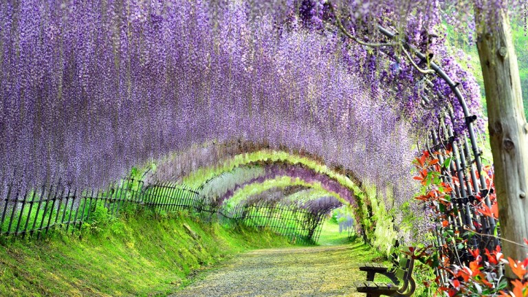 150306145109-beautiful-japan-kawachi-wisteria-super-169