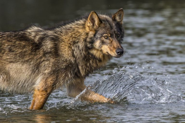 coastal-wolves-in-water.jpg.838x0_q80