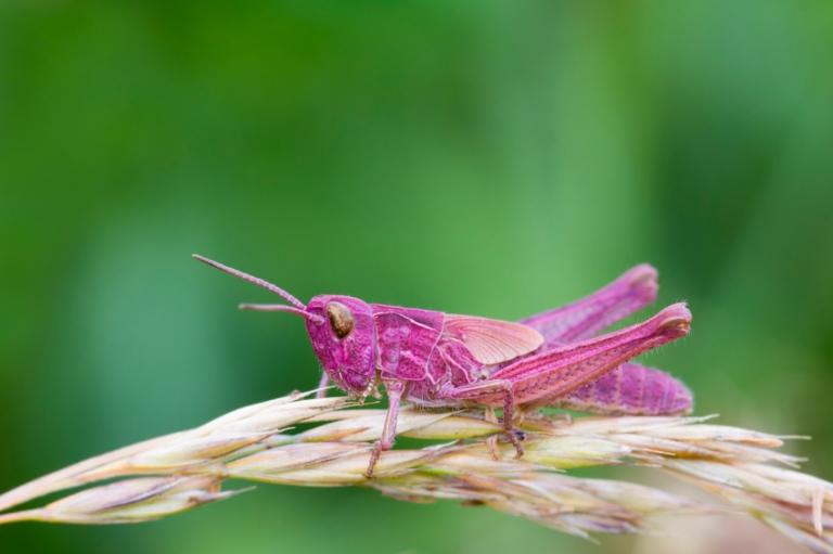 grasshopper_pink_fly